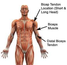 Distal Biceps Tendon Darn Surgery