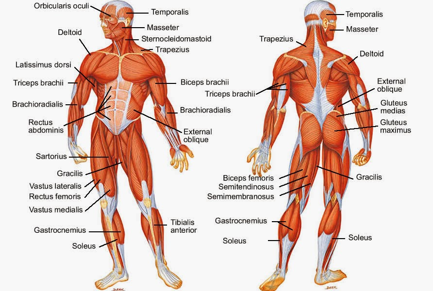 Define and Discuss on Bilateral Muscle