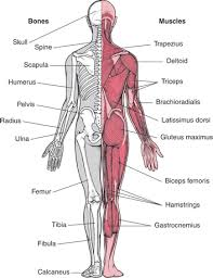 Musculoskeletal Health for Posture System of Human Body