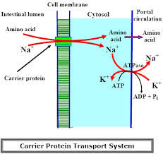 Analysis How Protein Absorbed