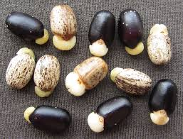 Define on Jatropha Seeds