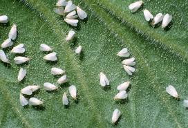 Biological Controlling Agents of Whitefly