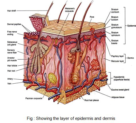 layer of epidermis