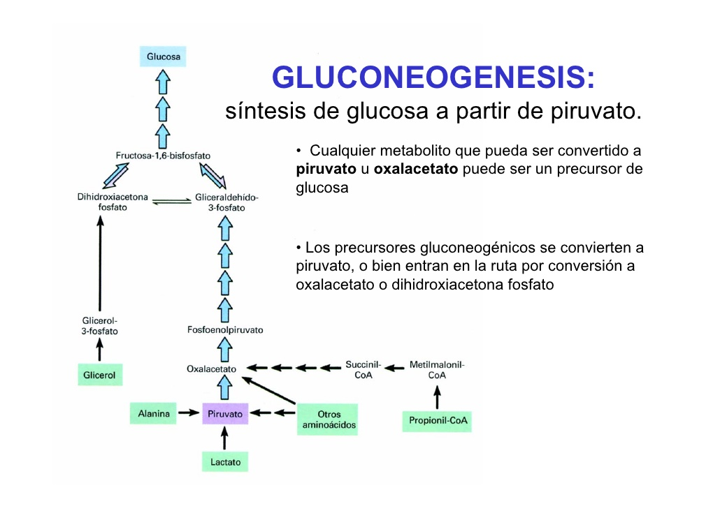 When does gluconeogenesis occur?