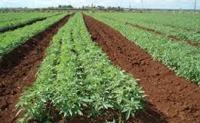 About Growing Industrial Hemp