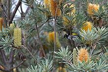 Banksia Verticillata