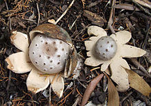 Myriostoma