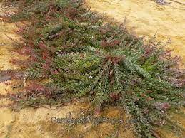 Adenanthos Cuneatus