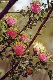 Banksia Cuneata
