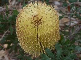 Banksia Epica