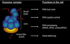 Exosome Complex