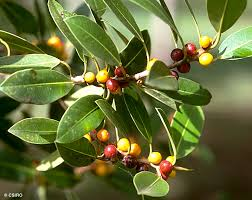 Ficus Obliqua