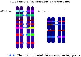 Homologous Chromosome