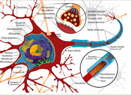 Neuroplasticity Definition