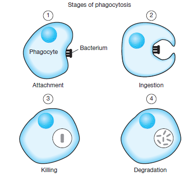 Phagocytes - Assignment Point