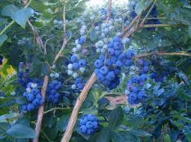 Organic Blueberry Farming