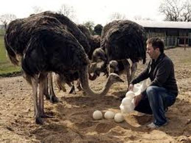 Ostrich Farming Assignment Point