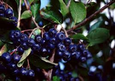 Black Aronia Berry Plant