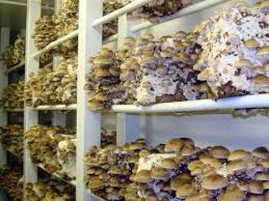 About Mushroom Shelves