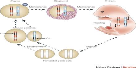 Genomic Imprinting