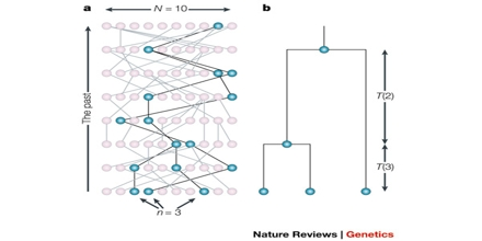 Genealogical trees, coalescent theory and the analysis of ...
