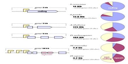 Genomic Organization