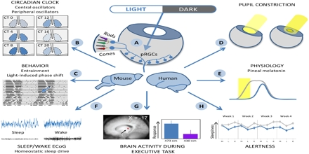 Light Effects on Circadian Rhythm