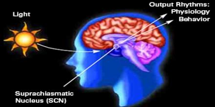 Suprachiasmatic Nucleus