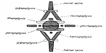 Transcendental Anatomy