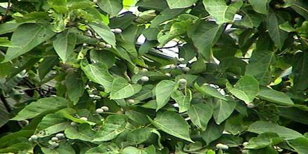 Screening of Hypoglycemic Effect of Trewia Nudilfora Leaf