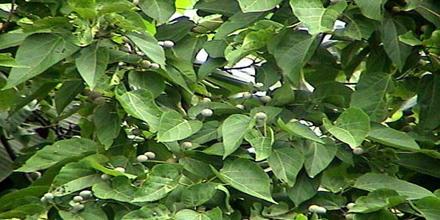 Screening of Hypoglycemic Effect of Trewia Nudilfora Leaf