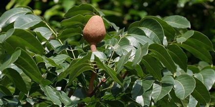 Cytotoxicity of ethanol extract of Swietenia Mahagony Leaf