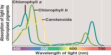 Absorption Of Light By Chlorophyll Assignment Point