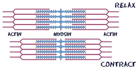 Lecture on Actin and Myosin