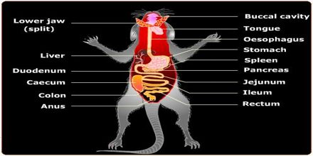 Digestive System of Rodents
