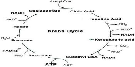 Lecture on Krebs Cycle