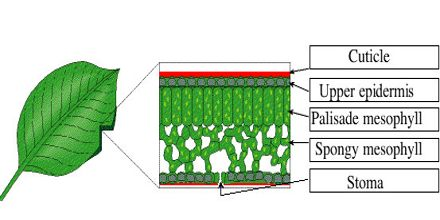 Leaf Structure and Photosynthesis