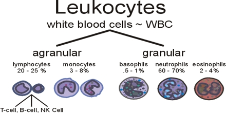Leucocytes White Blood Cell