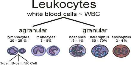 Leucocytes White Blood Cell