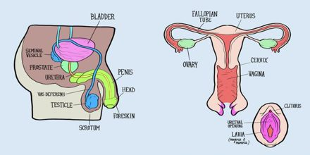 Reproductive Systems: Male and Female
