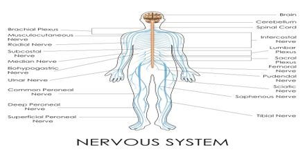 Lecture on Nervous System