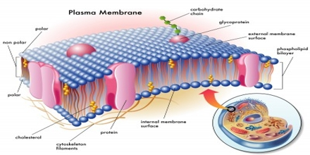 plasms membrane 5 13 42 permeability of the plasma membrane • the plasma membrane can regulate the passage of molecules into and out of the cell because it is selectively permeable • which molecules can freely cross the.