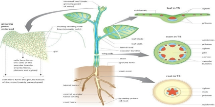 Support and Transport in Plants