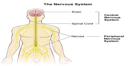 the human nervous system essay Nervous system the two types of the nervous system are the central nervous system and the peripheral nervous system they are responsible for integrating, processing.