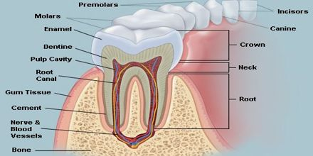 Lecture on Teeth