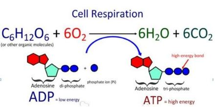 Laboratory Analysis of Cell Respiration