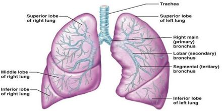 Lecture on Lungs