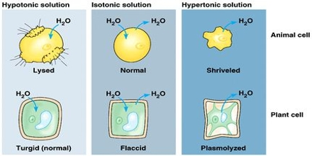 Cell Membranes: Osmosis and Diffusion