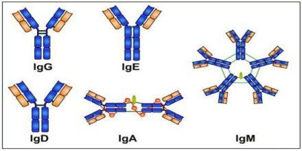 Different Immunoglobulins