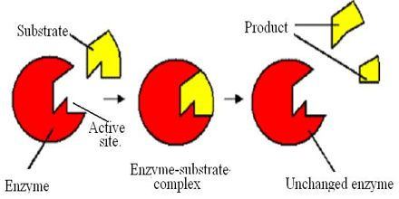 the action of enzymes essay Enzymes and food production  the tools you need to write a quality essay  colour and texture occur in all foods as a result of enzymic action enzymes can.